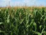 corn-field-1935_960_720