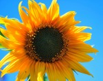 yellow-sunflower-403172_960_720